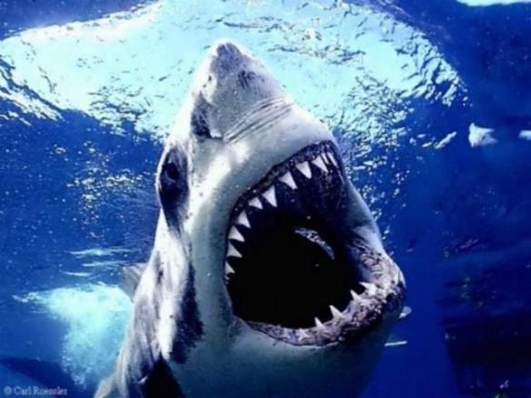 shark week1